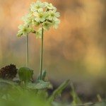 57_IMG_9838_Wald-Schluesselblume_Markersbach